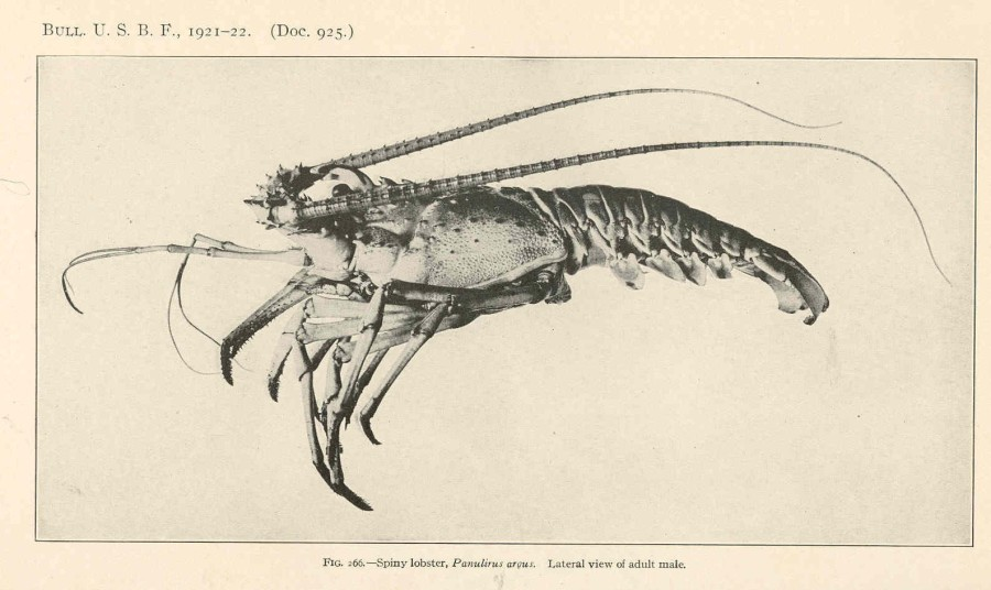 FMIB_39039_Spiny_lobster,_Panulirus_argus_Lateral_view_of_adult_male